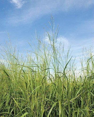 IntheKnow switchgrass