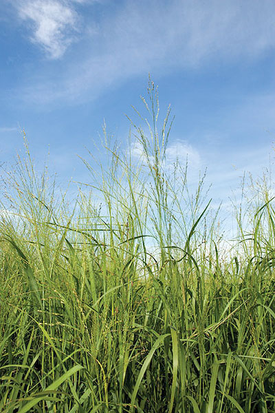 IntheKnow switchgrass