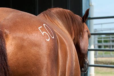 sale-horse