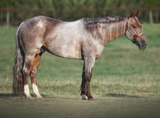 Metallic cat horse grazing in a field