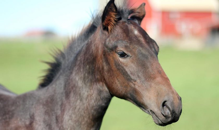 AQHA foal in a pasture