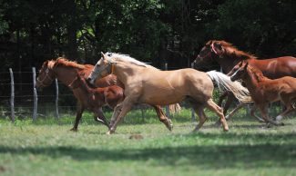 horses running through a field