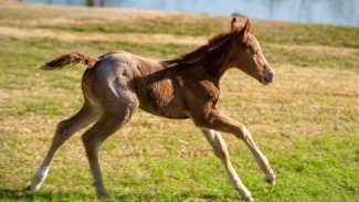 foal running at SDP Buffalo Ranch