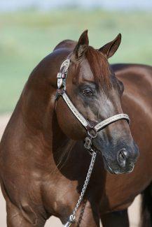 Stallion Topsail Whiz headshot