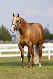 Wimpys Little Step stallion