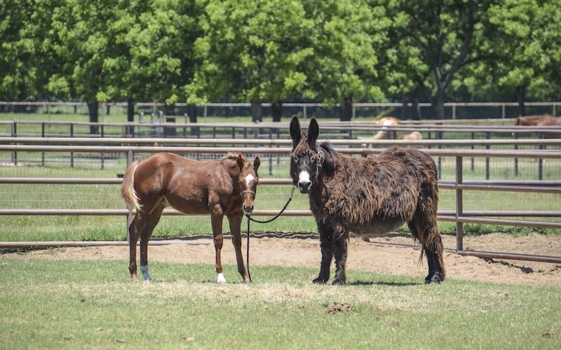 donkeys tied to foal in pasture