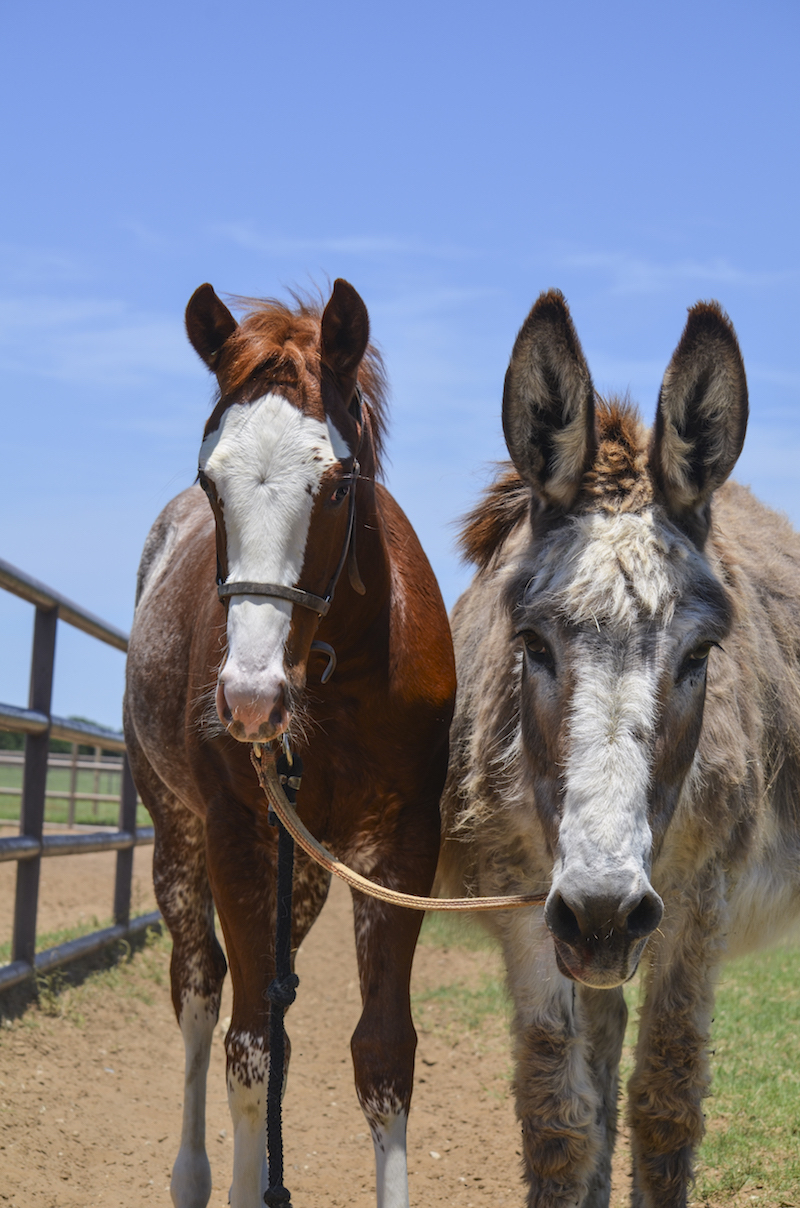 Donkey named Shirley tied to foal