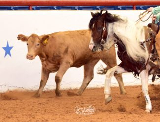 Paint Horse chasing a cow