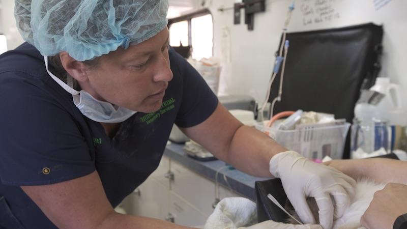 Dr. Keri Hudson Reykdal finishes up a veterinary procedure.