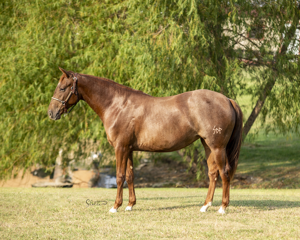 conformation shot of filly