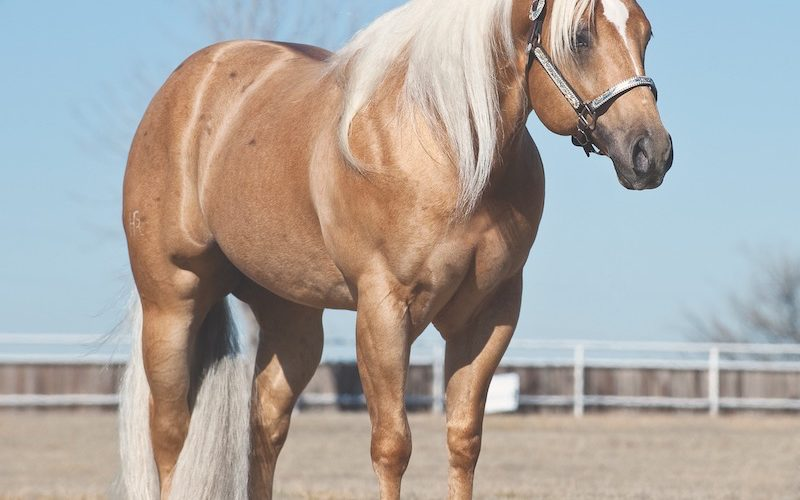 Shiners Voodoo Dr, a new Equi-Stat $1 Million sire