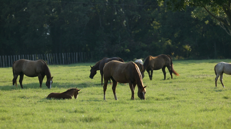 mares-and-foals