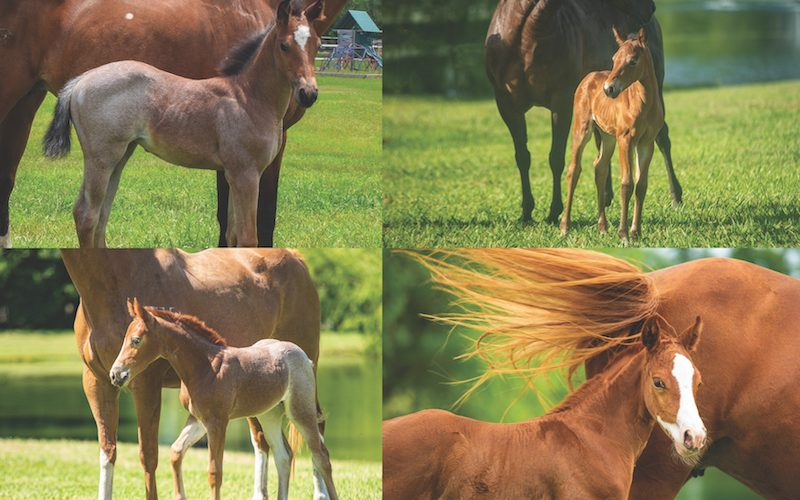 SDP Buffalo Ranch mares and foals 2020