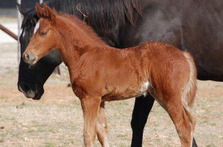 sorrel-foal