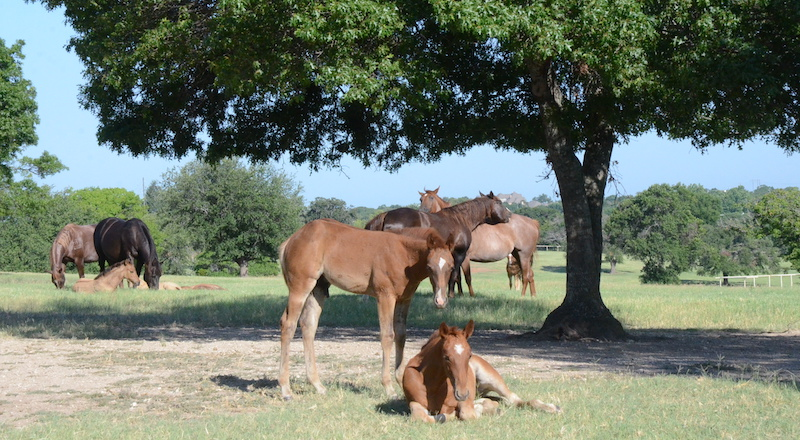 foal-laying-down