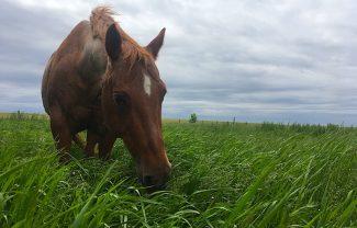horse-eating-grass