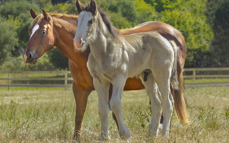 orphan-clydesdale-whiz-ms-dolly