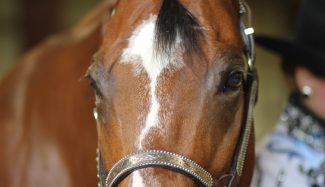 halter-horse