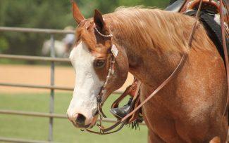 color-breeds-council-paint-horse