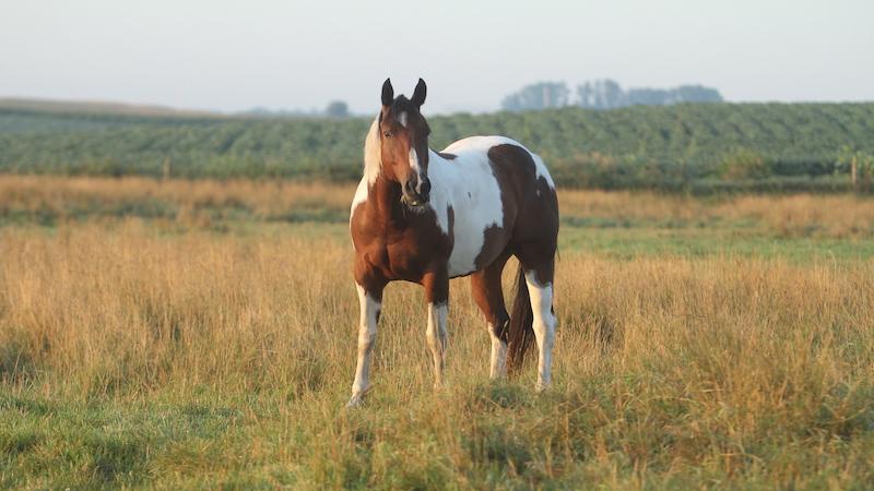 paint-horse-in-field