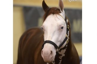 nrha-markel-futurity-sale-colonel-chic-gun
