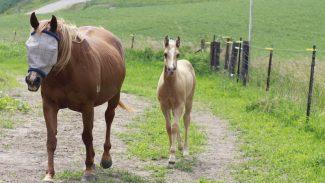 foal-mare-walking