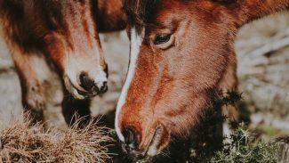 horses-eating-grass