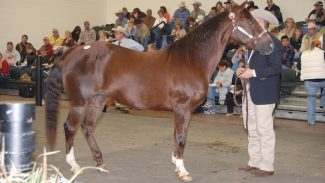shirleys-folly-at-horse-sale