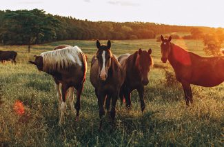 Anthrax can affect horses