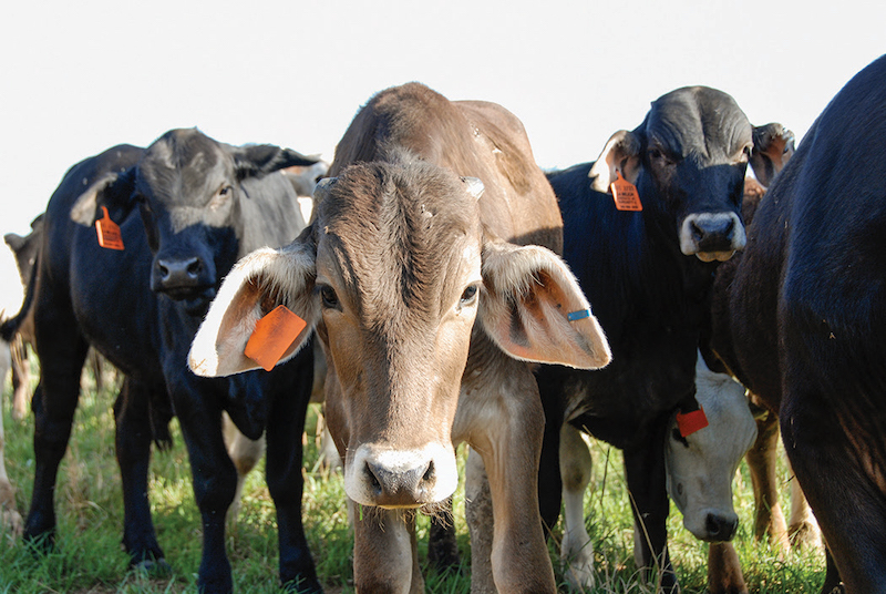 Anthrax most often affects cattle.