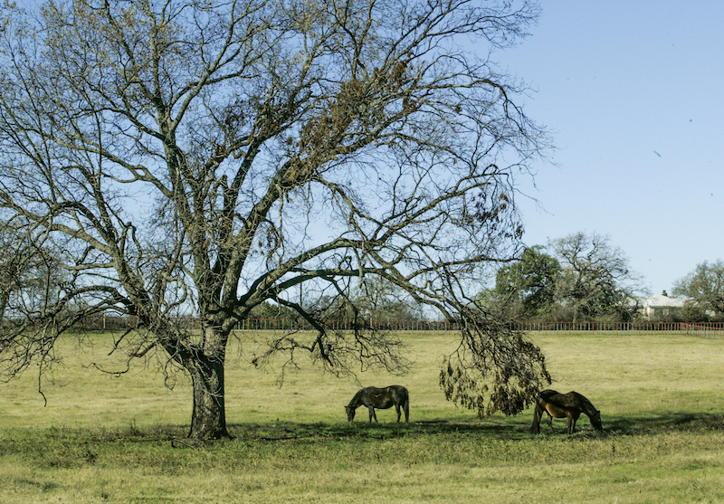Mares in the first trimester of pregnancy turned out on pasture.