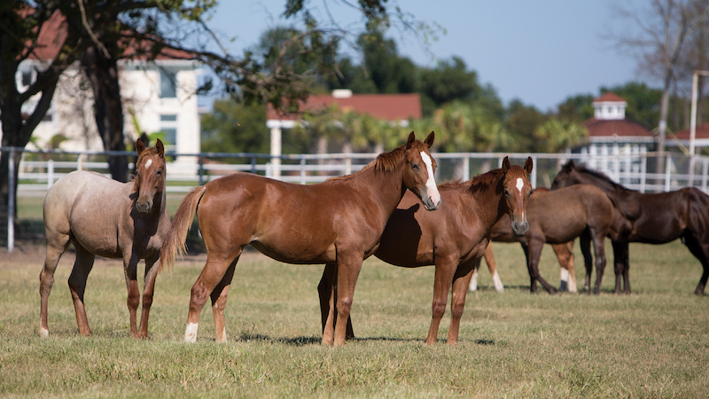 Aaron Ranch has incorporated Gooseberry bloodlines, a stallion by Blue Valentine, in their program.
