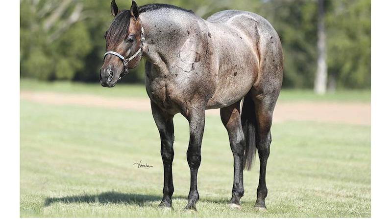gotta-lotta-bud-stallion