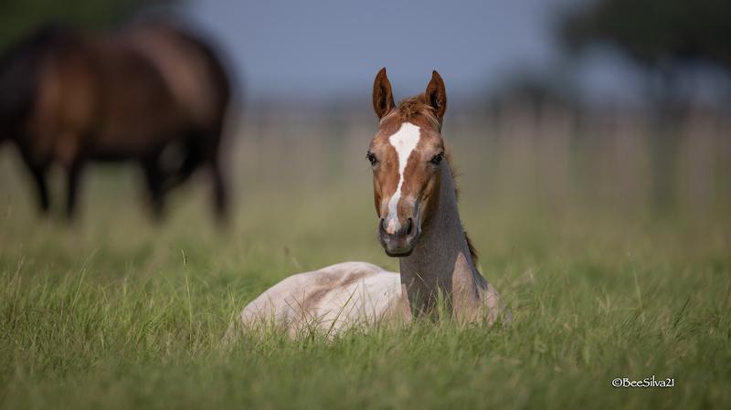 foal-brazos-valley-stallion-station